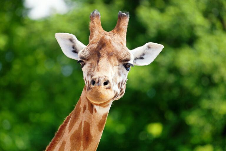 A photo of a giraffe looking at the camera