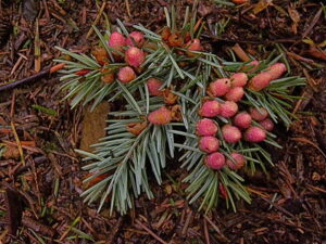 Douglas fir pollen cones. Photo by Peter Stevens (Flickr Creative Commons)