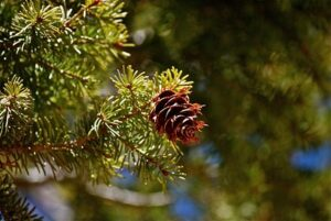 A close-up shot of a Douglas fir tree and its cone. Photo by Miguel Vaca (Flickr Creative Commons)